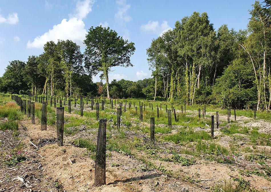 plants chênes béma